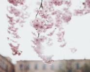 粉色櫻花唯美花朵圖片