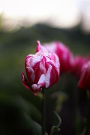 唯美郁金香花朵圖片