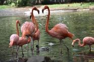湖面火烈鳥群圖片