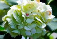 繡球花近景攝影圖片