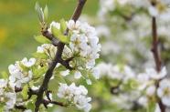 樹枝白色梨花圖片