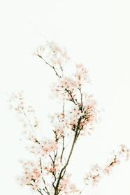小清新櫻花攝影圖片