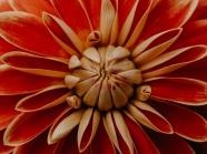 微距橙色菊花圖片
