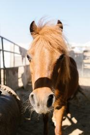 牧場里棕色馬頭部特寫圖片